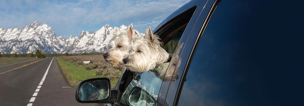 Two white small dogs leaning out of a car window, with snow-capped mountains in the background.